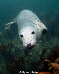 A seal taken at the Farne Islands in the North sea, North... by Ryan Johnson 